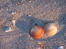 Seashells in OINC